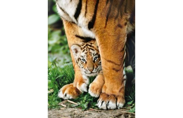 Bengáli tigris az anyja lábánál 500 db-os puzzle - Clementoni